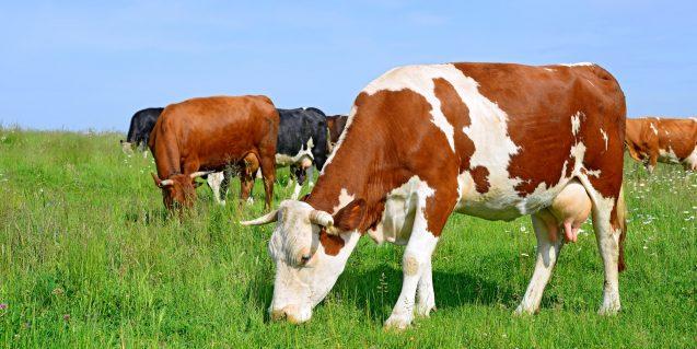 Campania, vaccinazione contro il carbonchio ematico degli ovini, bovini, caprini ed equidi