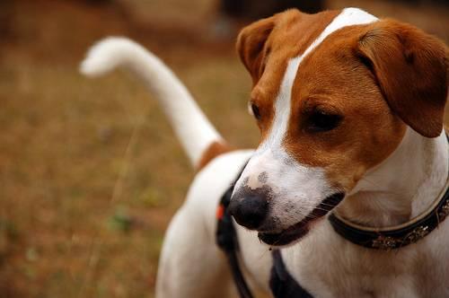 Nuovo farmaco Soliphen 60 mg per l'epilessia nei cani