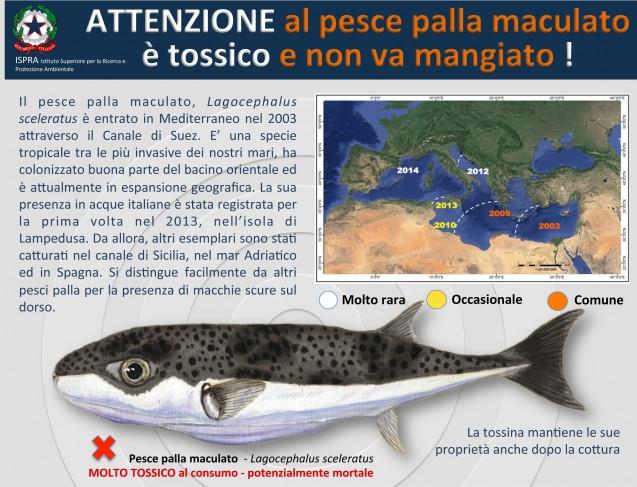ISPRA sulla diffusione del Lagocephalus sceleratus: il pesce palla maculato è tossico