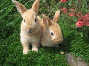 Reazione avversa al vaccino per conigli